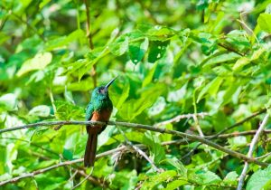 birdwatching in the peruvian amazon