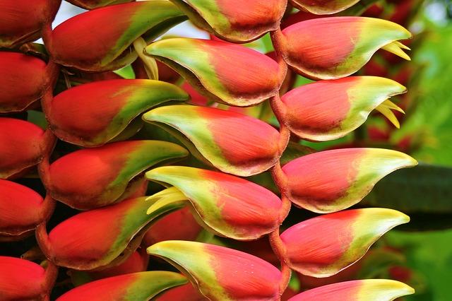 Heliconia Amazon Rainforest Plant