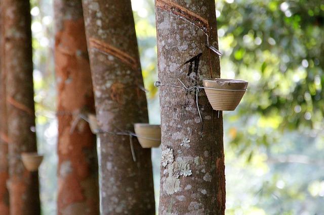 Amazon Rubber Tree Plant