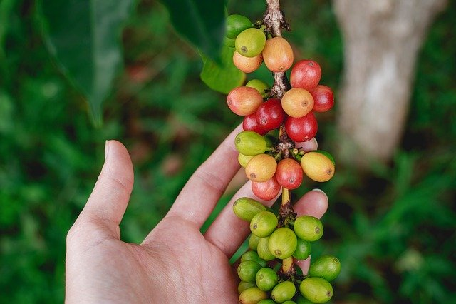 Coffee Plant from Amazon Jungle