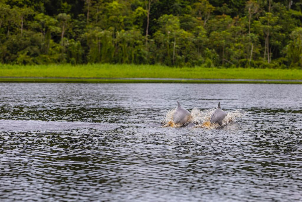 Pink River Dolphin Research