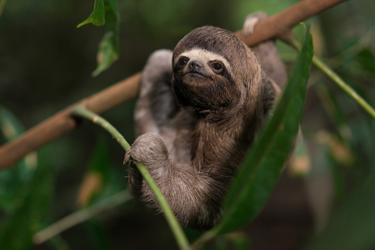 Sloths in the Amazon Rainforest