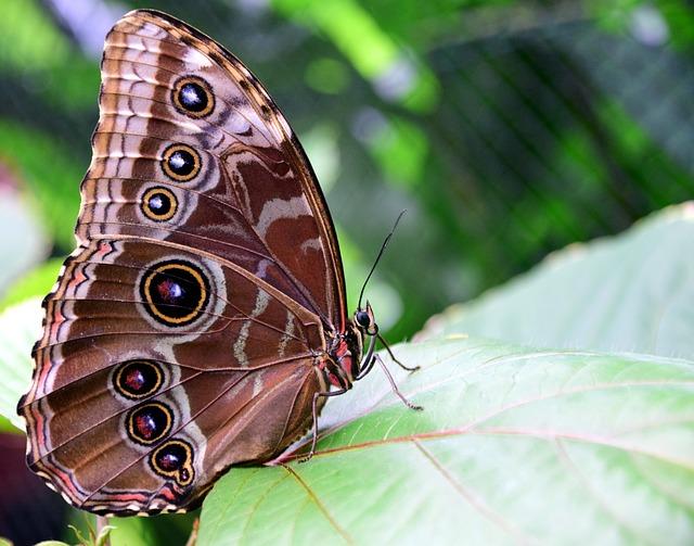 Blue Morpho Butterfly Amazon Jungle