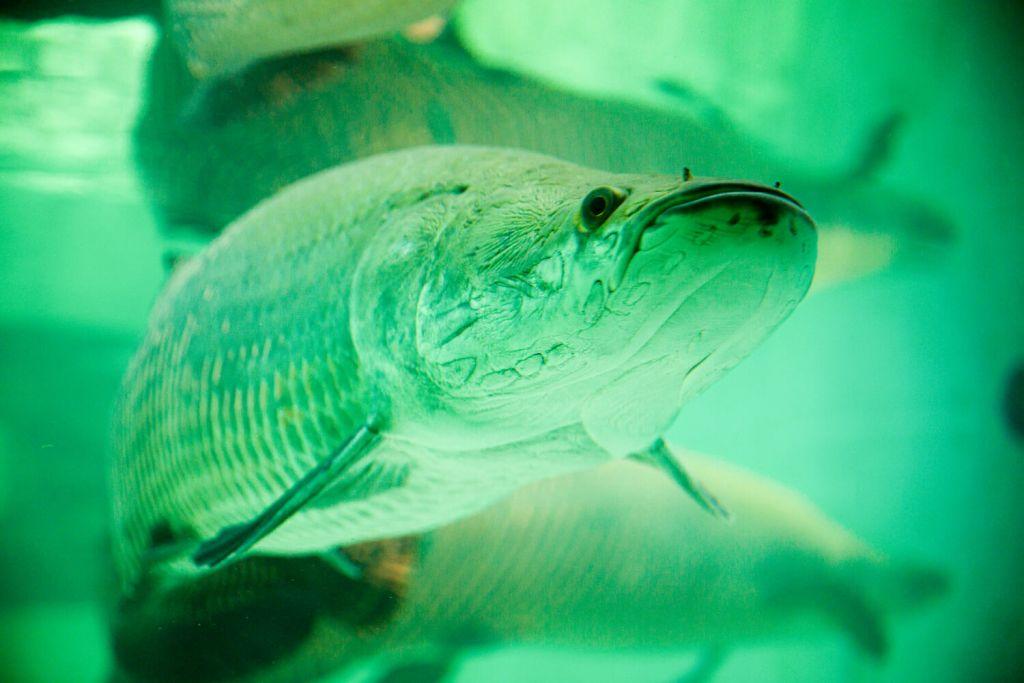 Paiche Fish